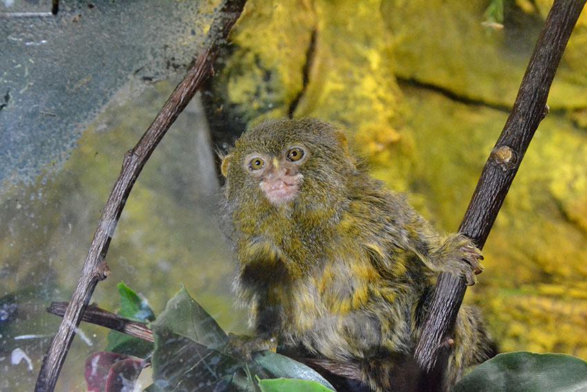 Большой обезьяний член