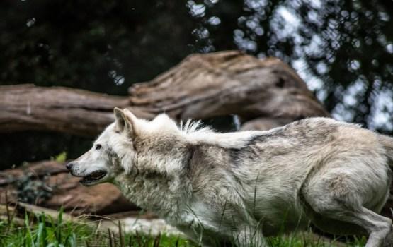 Вниманию охотников: популяция волков продолжает расти