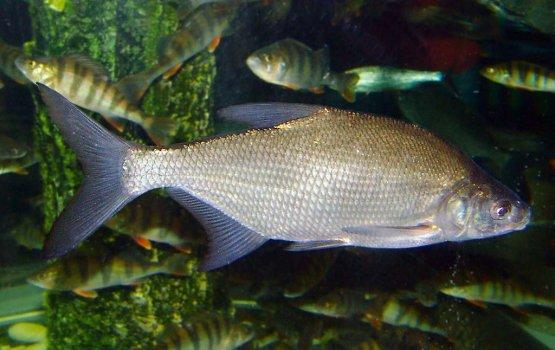 10 рыбных рекордов Латвии