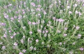 Полевые цветы Латгалии