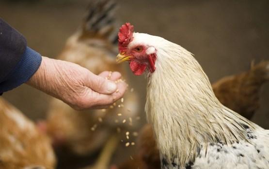 Более 4000 человек в петиции призывают Rimi отказаться от яиц, снесенных курами в клетках