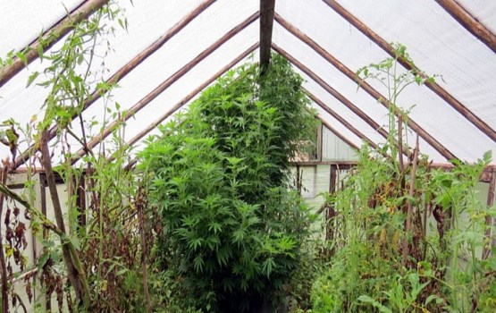 В Лудзенском крае выращивали марихуану