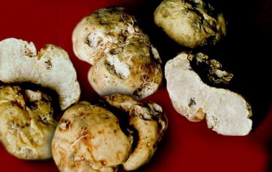 В Латгалии нашли гриб года