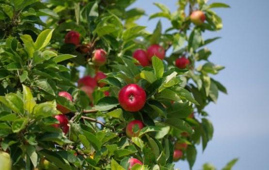 Ученые определили родину домашней яблони