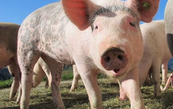 На Latgales bekons снова могут появиться живые свинки