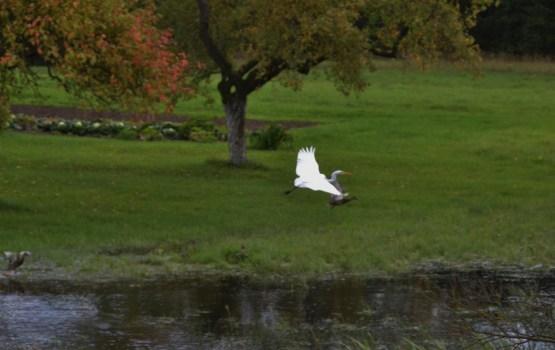 Белой большой цапле до города крылом подать