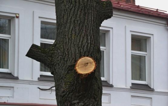 Ветви могучего дуба спилили незаконно? (дополнено)