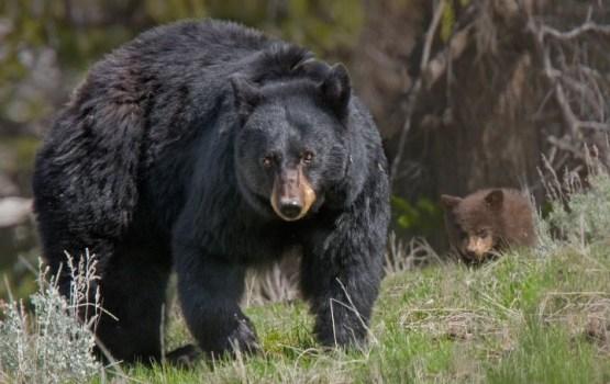 Латвию заполоняют медведи из России и Эстонии