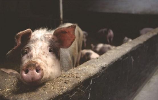 Россия намерена перенести запрет на импорт свинины на политический уровень