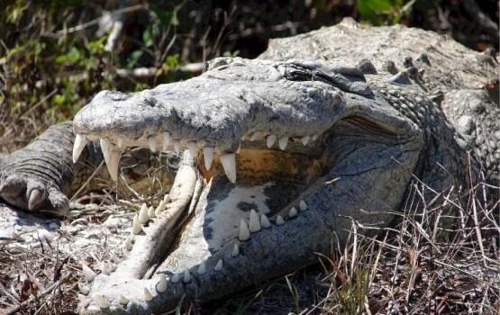 Крокодил в Мексике утащил под воду 12-летнего ребенка