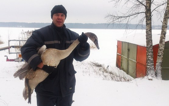 На озере Стропы спасли лебедя