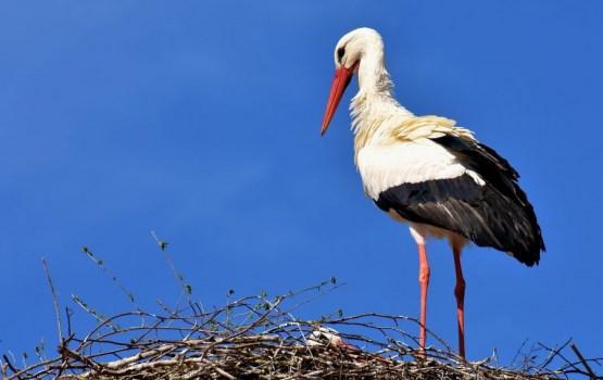 Штраф за самовольный снос гнезда аиста может составить 1400 евро