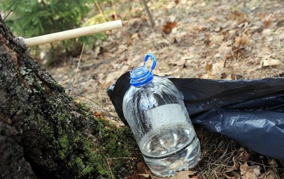 Опрос: 51% жителей Латвии пьют березовый сок