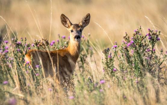 Открыт сезон охоты на косуль и браконьеров (уточнено)