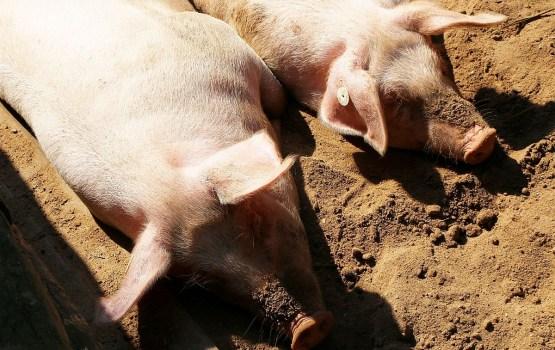 Зарегистрирована первая в этом году вспышка АЧС у домашних свиней