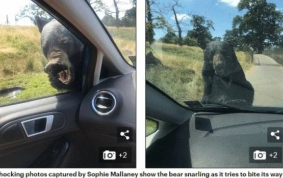 В Британии медведь из-за жары напал на машину с ребенком