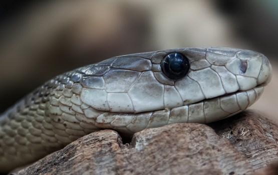 В Краславе за выходные поймали три змеи