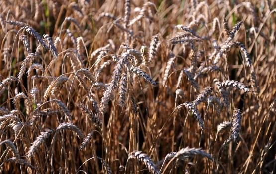 Урожай зерновых прогнозируется на 24% меньше прошлогоднего