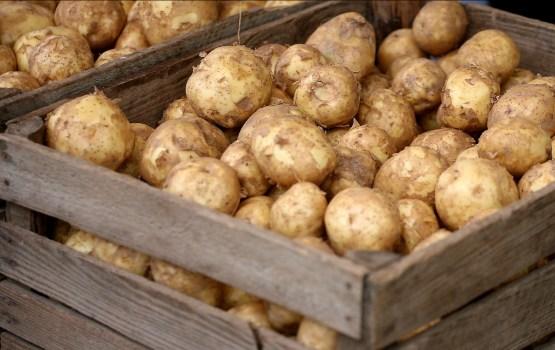 Урожай картофеля оказался лучше ожидаемого