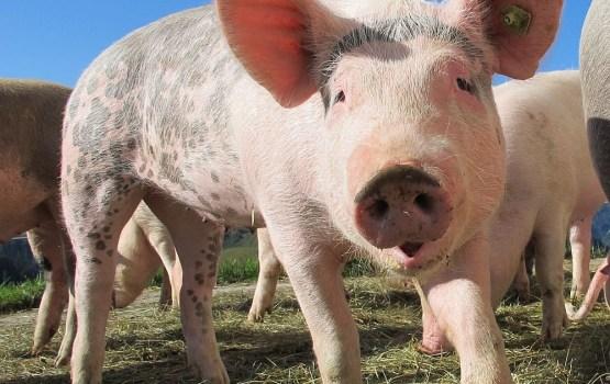 Африканская чума свиней зафиксирована в десяти странах ЕС
