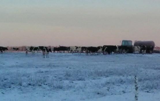 Под Прейли фермеры выпустили стадо коров пастись на снег