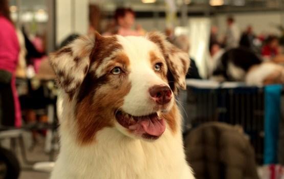 В эти выходные в Даугавпилсе пройдет выставка собак (дополнено)