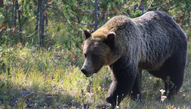 Пасечники изобретают способы защиты от медведей