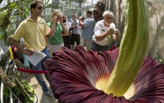 В Бельгии расцвел самый большой в мире цветок