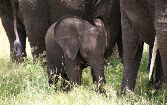 ВИДЕО: Слоненок, который не хочет просыпаться, стал звездой Интернета
