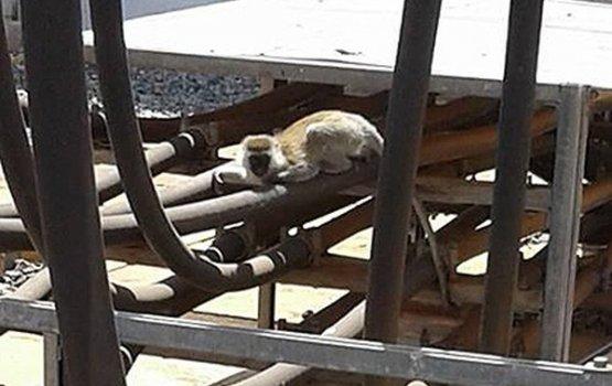 Кенийская обезьяна обесточила всю страну