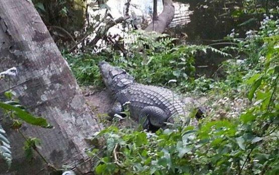 Француженка осталась без ноги после селфи с крокодилом