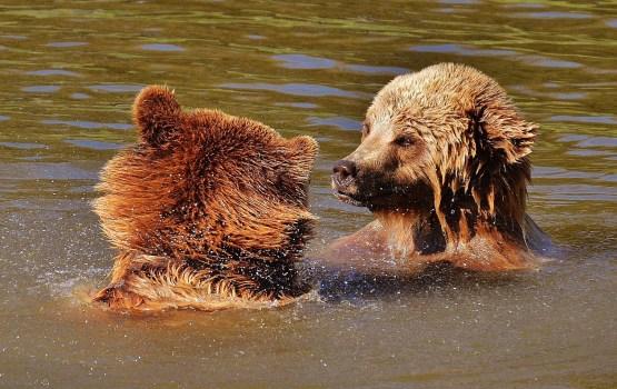 В Латвии сейчас может быть около 30 медведей, в том числе медвежата