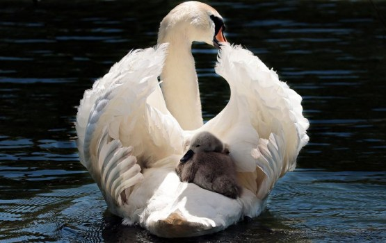 Злоключения одной лебединой семьи и гадкого утенка на озере Стропака