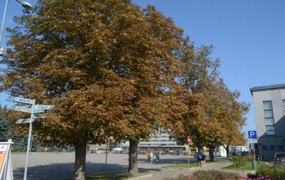 Осень в Даугавпилсе: море каштанов. Используем с пользой!