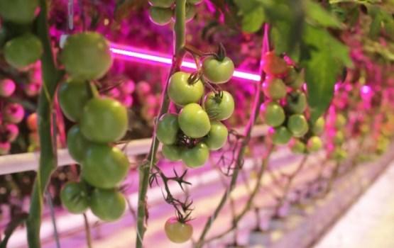 Миллионы инвестиций в гигантскую плантацию томатов