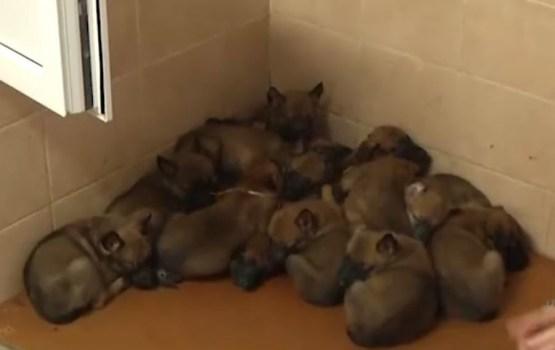 Граница ликует: в Резекненском погранколледже родилось 14 щенков за раз