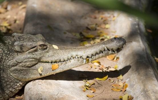 В Индии на похороны 130-летнего крокодила пришли 500 человек
