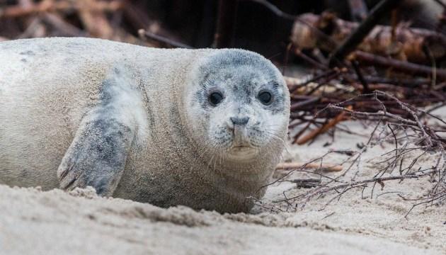 Если тюлененок толстенький и рычит…