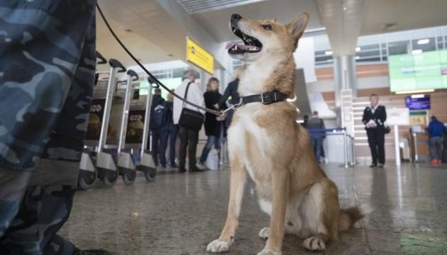 Собак натаскивают на запах Covid-19