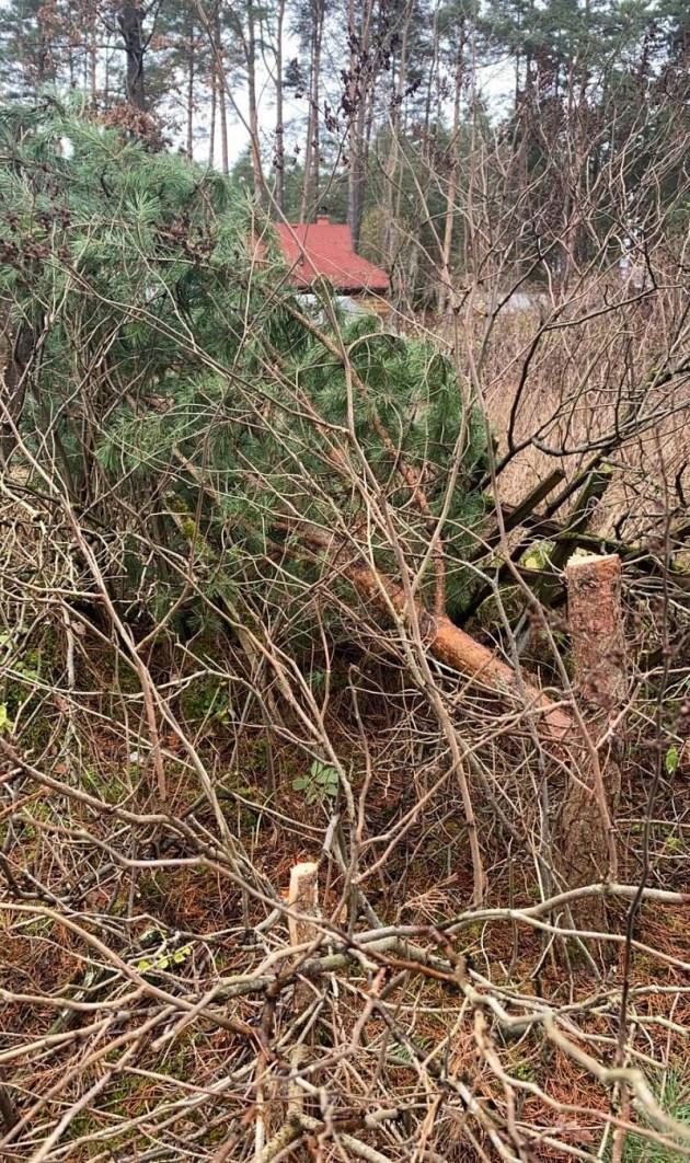 Фотофакт: в Стропах рубят молодые сосны