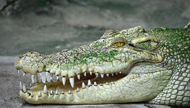 Думе предлагают купить крокодила