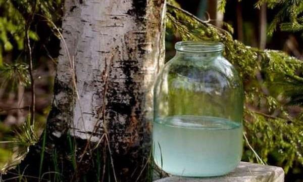 Березовый сок можно собирать в государственных лесах. Но есть нюанс (ВИДЕО)