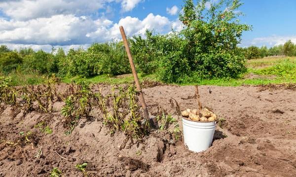 «Картофель на вес золота». Урожай плохой и цены растут